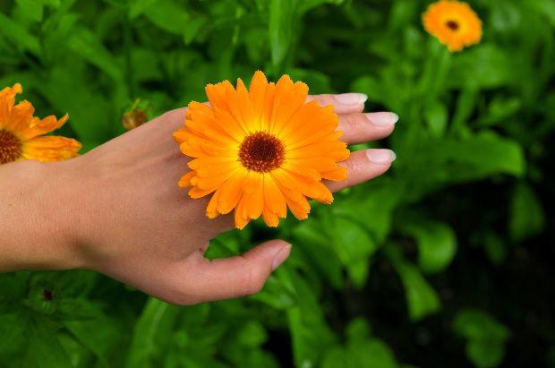 A körömvirág jótékony hatása a visszérre