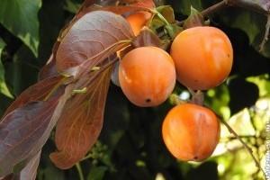 Datolyaszilva, a hangavirágú ébenfafélék isteni gyümölcse