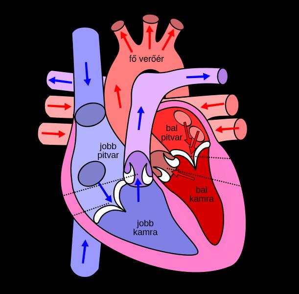 A Bartholin-ciszta kialakulása és tünetei