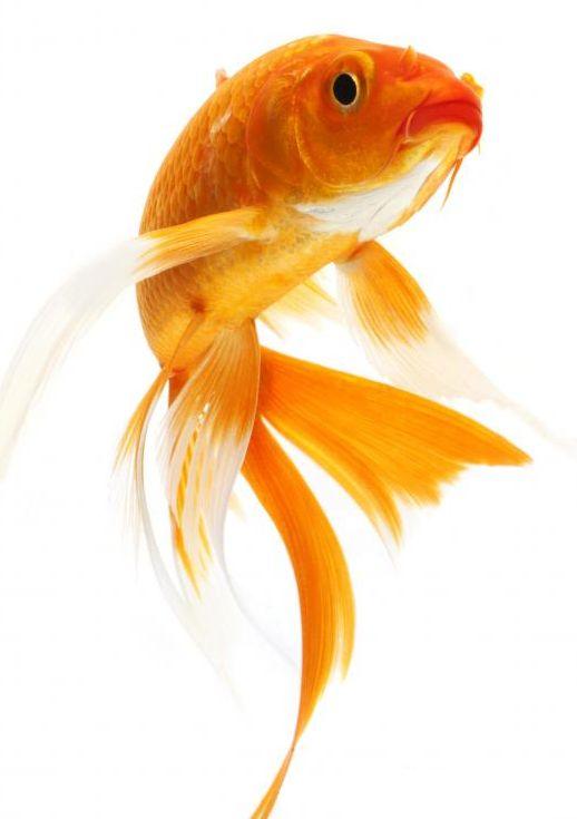 aranyhal edző visszerek)