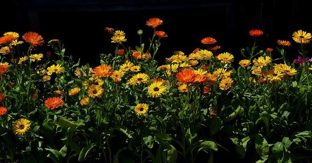 visszér ellen ajánlott gyógynövények