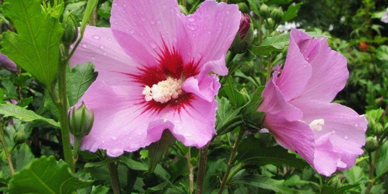 Naturland csipke-hibiszkusz filteres tea 20x | BENU Online Gyógyszertár
