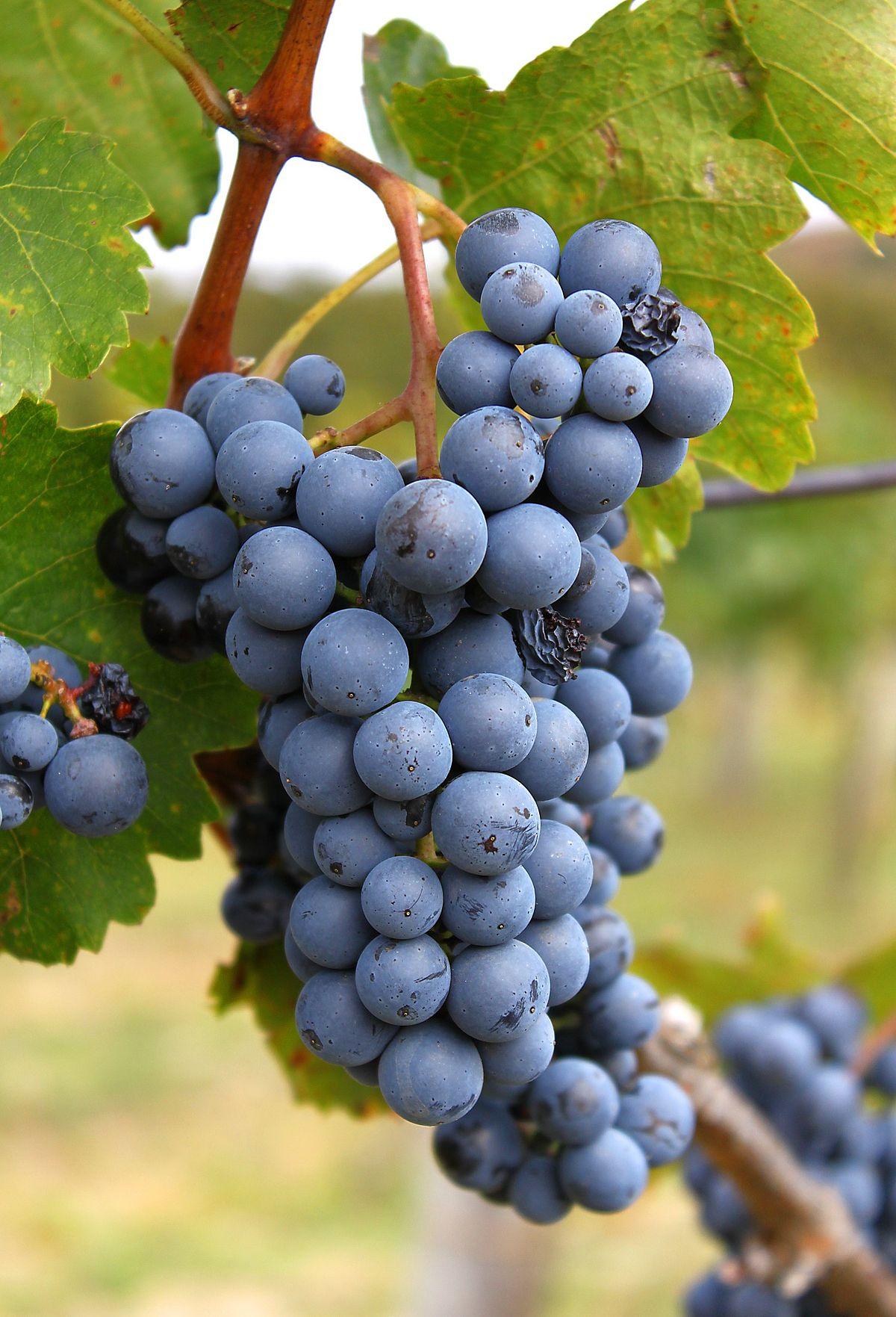 szőlővel rendelkező visszérektől