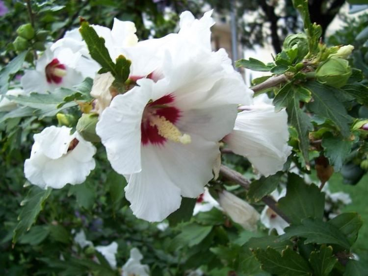 A hibiszkusz rendkívül széles körben alkalmazható gyógynövény