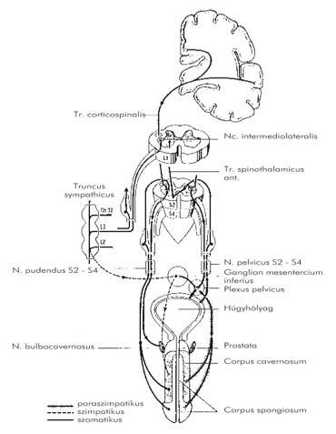 perineális visszér